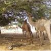 Hay'adda  Dalsan Community Welfare Organization oo ka Dayrisey Xoolaha ku Nool Gobolka Gedo